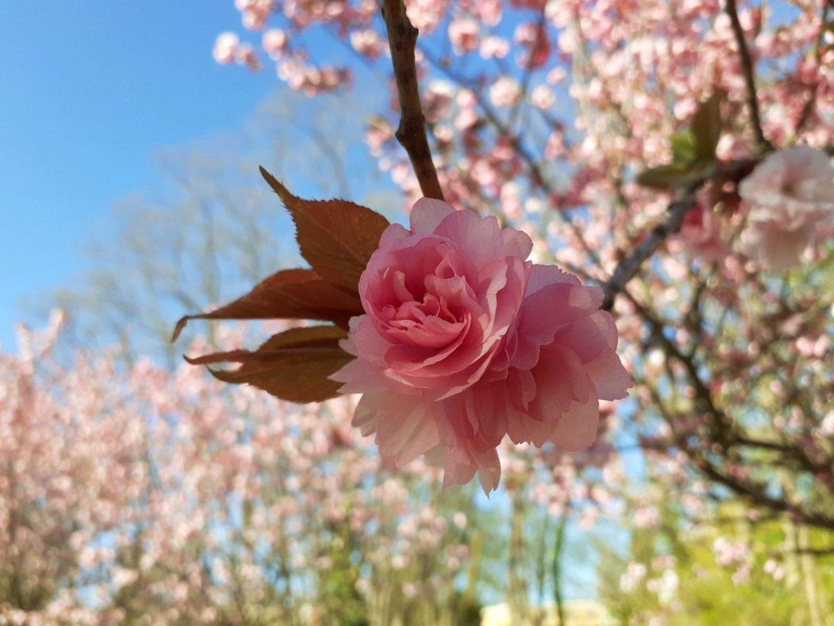 Kirschblütenallee Teltow: Japan-Zauber auf dem Mauerweg