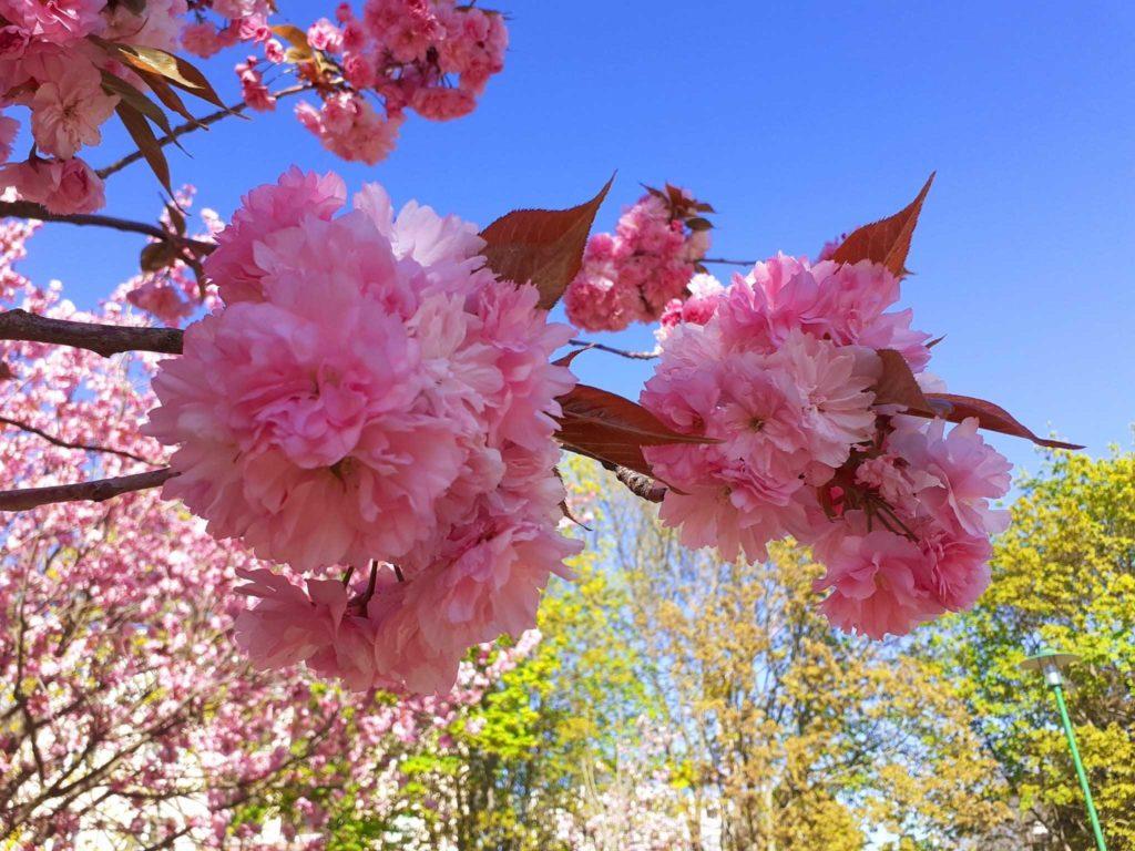 Kirschblüten in Teltow