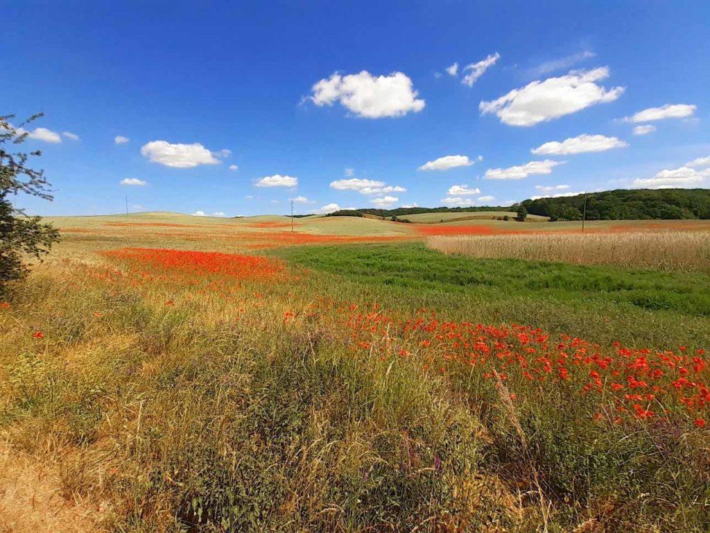 Mohnfeld in der Uckermark